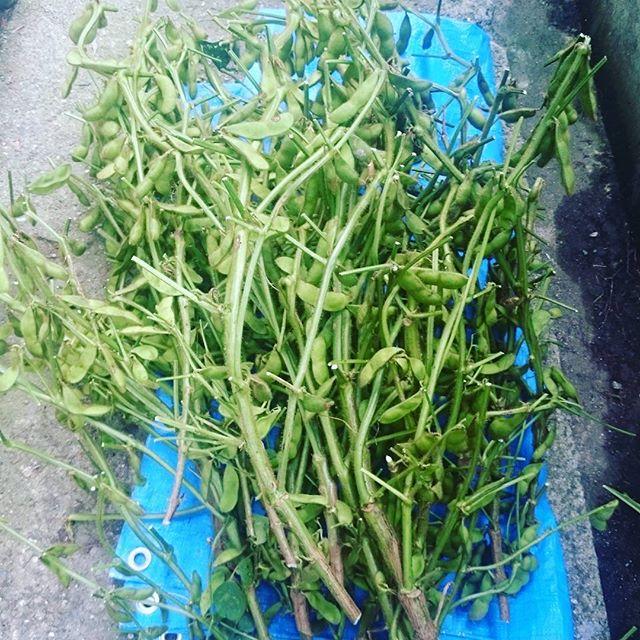 地元の業者さんから枝豆を頂きました!